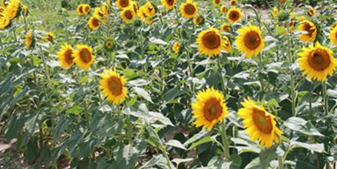Beautiful fields of sunflowers at Agricenter International. Photo by Sue Sigler.