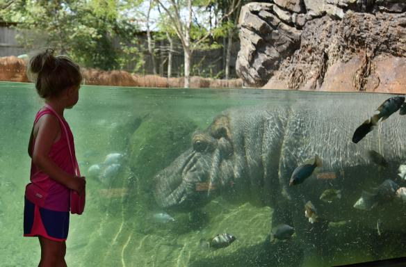 Kid at the hippo exhibit - Memphis Zoo